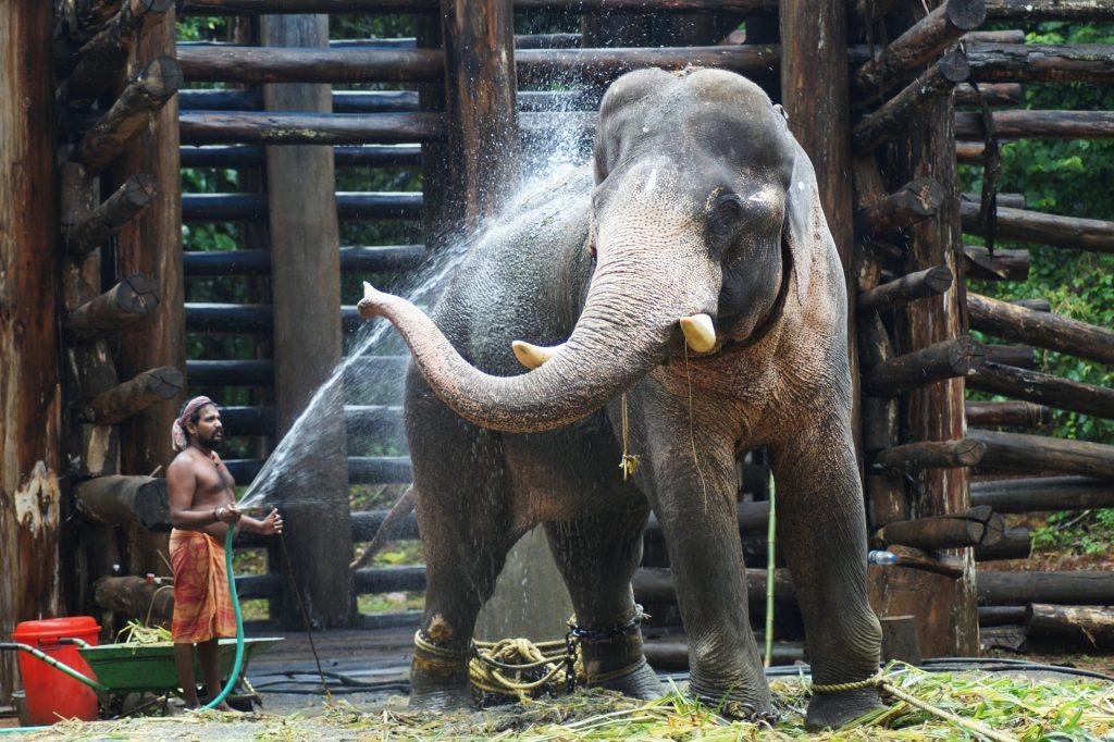 Ilustrasi Perawat Satwa (Staff Curator) Sedang Memandikan Hewan Gajah